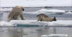 A Caçada: focas fofinhas salvam ursos polares famintos no Ártico
