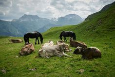 Meet mother nature and a few cows in Lech Zürs am Arlberg! Holiday Resort, Cows, Mother Nature, Meet, Landscape, Scenery, Landscape Paintings, Corner Landscaping, Mother Earth