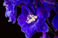 Afbeelding van http://static.zoom.nl/57DC3E7E8F3524962F47E600D7891480-ridderspoor-blauw.jpg.