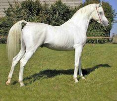 Arabian Stallion - La Mirage