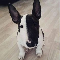 These 30 Miniature Bull Terriers Will Melt Your Heart | The Paws. Worst Dogs For Babies. #puppies #BEST FRIEND YOU WILL EVER HAVE! LOVE ❤️ THEM SOOOO MUCH. Check out this great article. Pitbull Terrier, Boston Terrier, Pitbulls, Boston Terriers, Pit Bulls, Pit Bull Terriers, Pitbull, Pit Bull