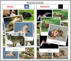 Animal Activity Sorting for Nocturnal and Diurnal Animals - Printable Montessori Animal materials for Montessori Learning at home and school.