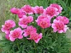 Anemoniflora Rosea