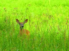 Hiding Deer Little Stissing Mountain, Pine Plains NY (photo by Aaron Knickerbocker)