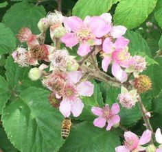 Bi henter nektar i sommerens vilde brombær blomster.