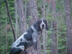 My Daddy raised Bluetick Coonhounds