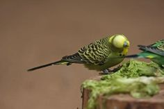 How to Build a Parakeet Nesting Box thumbnail
