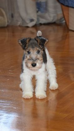 still my beating heart! Dear Father Christmas please can I have a Fox Terrier puppy. I'll be VERY good, I promise!Oh be still my beating heart! Dear Father Christmas please can I have a Fox Terrier puppy. I'll be VERY good, I promise! Perro Fox Terrier, Wirehaired Fox Terrier, Terrier Dogs, Welsh Terrier, Wire Fox Terriers, Wire Fox Terrier Puppies, Terrier Breeds, Airedale Terrier, Cute Puppies