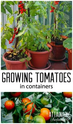 Planting tomatoes in containers is a great way for urban gardeners to grow this popular garden crop. Homestead ~ vegetable garden ~ growing food - Another! Growing Tomatoes Indoors, Growing Tomato Plants, Growing Tomatoes In Containers, Growing Vegetables, How To Plant Tomatoes, How To Plant Vegetables, Potted Tomato Plants, Veggies, Gemüseanbau In Kübeln