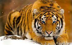 Tiger alert