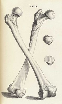 William Cheselden's Osteographia (1733) | The Public Domain Review