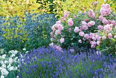 A striking combination in the Fragrant Garden, from back to front, Cornus alba Aurea, left centre Eryngium Big Blue, right Rosa Felicia, foreground left Dianthus Mrs. Sinkins and Lavandula angustifolia Lavenite Petite.