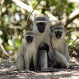 Artist: Engela Vermeulen   metal posters - Displate #Monkeys #SouthAfrica #family #FamilyPortrait #Nature #Animals #Mtunzini #BlueMonkey #Displate