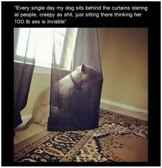 """Every single day my dog sits behind the curtains staring at people, creepy as shit, just sitting there thinking her 100 lb ass is invisible"""