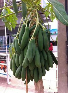 The Papaya tree is a tropical fruit that originated in Mexico and South America. It is now grown throughout the North American tropics and other tropical regions around the world. Fruit Plants, Fruit Trees, Fruit And Veg, Fruits And Vegetables, Papaya Tree, Tree Care, Tropical Fruits, Best Fruits, Organic Vegetables