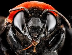 Biene (Centris), photo: Native Bee Inventory and Monitoring Lab, U.S. Geological Survey