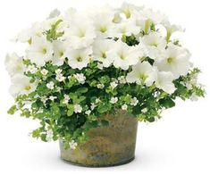 Pretty combination - White Supertunia petunias and Bacopa Sutera cordata (Snowstorm Giant Snowflake)