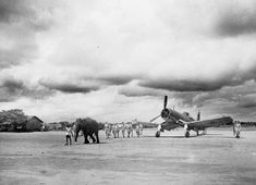 An elephant pulls a Chance Vought Corsair into position on a Fleet Air Arm airfield in India. The skill and strength of the elephant in manoeuvring large objects was particularly useful in the Far East where there were few good roads. Air Image, An Aeroplane, Air Festival, Indian Elephant, Canada, Navy Ships, Royal Navy, World War I, Historical Photos