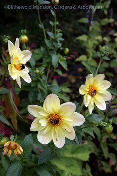 Sleepy bumblebees on Dahlia 'Ryecroft Sunrise', Plants, Garden Tattoos, Dahlia, Flowers, North Garden, Spring, Bloom, Perennials, Garden