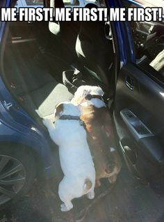 me first! me first! me first! lol two dogs trying to get into the car at the same time