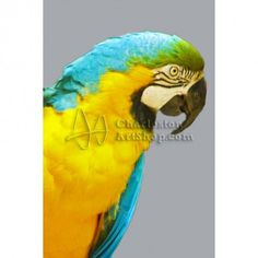 Blue And Gold Macaw | Bill Barber Artwork Listings | Charleston Art Shop