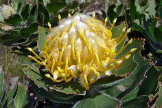 Eén van de vele soorten proteas.