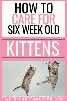All About Six Week Old Kittens Kittencare Newkitten Kittens Catssource Https Www Pinterest Com Pin 265149496799584506 2020