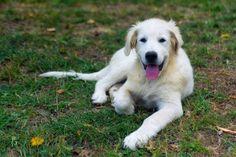 #pastoremaremmano #maremmano #maremmanodoc #cuccioli #cucciolina #cucciolino #cucciolissimo #cuccioline #cucciolialsole #vendocuccioli #cuccioliinvendita #barfood #barf  Cuccioli di Cane da Pastore Maremmano Abruzzese Si cedono solo a veri amanti di animali Meravigliosi Cuccioli di Cane da Pastore Maremmano Abruzzese nati il 7-06-2017. Forti sani da Genitori Maestosi Equilibrati e con un Importante Pedigree paterno. Difensori incorruttibili della Proprietà e della Famiglia dolcissimi per la…