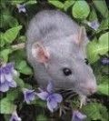 The Ultimate Guide to Raising and Caring for Pet Fancy Rats, Hairless Rats and Dumbo Rats