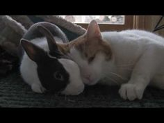 Bunny, The Kitty Cushion - Cute Animal Video Of The Day   ... see more at PetsLady.com ... The FUN site for Animal Lovers