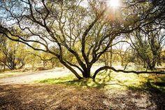 Location scouting today and stumbled across this tree. It may or may not remind me of a certain 8-armed underwater villain. I shall call her Ursula... ________________________________________________________#sararuthphotography #eldoradohills #wanderlust #travel #landscape #landscapephotography #travelphotography  #insta #instagood #canon_photos #canon6d #sun #exploreca #california #sharetravelpics #sacramento #igerssac #exploresac  #visitsacramento #tree #random #exploreca #thisiscalifornia…