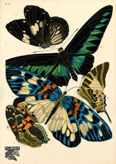 VINTAGE INSECT ILLUSTRATIONS BY E.A. SÉGUY - 1. Euploea rhadamanthus. Inde; 2. Troïdes brookeana. Bornéo; 3. Erasmia pulchella. Sikkim; 4. Papilio antiphates. Inde; 5. Pyrameis myrinna. Equateur