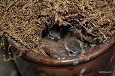 Cute baby Wrens