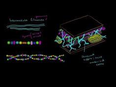 Microfilaments and intermediate filaments - YouTube