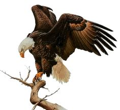 Go ahead and fly Moose Pictures, Eagle Pictures, Small Eagle Tattoo, Eagle Tattoos, Eagle Images, Eagle Painting, Native American Pictures, Eagle Art, Nature Sketch