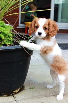 Cavilier King Charles spaniel Our 9 week old called Claude.. I want! A girl though.