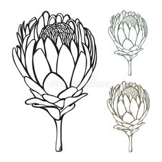 Protea Flowers Stock Photos by Megapixl Protea Art, Protea Flower, Artichoke Flower, Line Art Flowers, Lino Art, Pen Illustration, Illustrations, Abstract Flower Art, Flower Pens