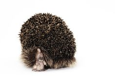 Steve Hoskins Animal Portraits: Steve already posted a squirrel by this photographer but this shot made me look twice.  I've always loved hedgehogs and this one is off to go explore the world.