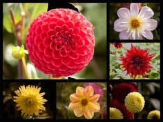 A selection of the dahlias grown at Baddesley Clinton, a moated house in Warwickshire, England