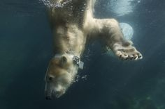 Dive! Dive! Collared Polar Bear at San Diego Zoo Participates in Energetics Research
