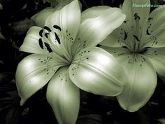 Daffodil   March Birth Flower   Tattoo Ideas - Lilly   May Birth Flower   Tattoo Ideas - b&w shadowing a 3d look