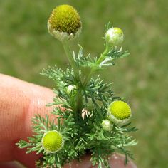 Pineapple Weed- grows all around where i live and i never knew you could use it like chamomile! <3