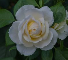 Claire Austin rose | by frankmh Claire Austin Rose, Plants, Gardening, Ideas, Flowers, Lawn And Garden, Plant, Thoughts, Planets
