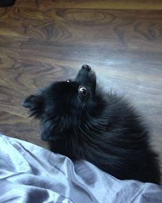 The look you give mommy when you mad at her for giving Ty more ice cream but you still want on da bed.... #Pom #pomeranian #yegpets #yegpoms #instadogs #pomeranianpage #poshpamperedpets #dog_features #thedailypompom #dogfeaturing #dogsofinstaworld #lacyandpaws #cutiepatootie #barkleythepomsquad #mabelle #blackpom #pawsandpaws #pomeranianpage #cutestdogintheworld  #furrendsupclose #sendadogphoto #immadatyou #sideeye #suchauser by yegpoms