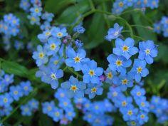 A falusi ház kedvelt virágai 19 NEFELEJcS Wonderful Flowers, Flora, Garden, Plants, Advent, Beauty, Art, Art Background, Garten