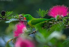 Vernal hanging parrots are resident breeders in India, Nepal, and parts of SE Asia. Favorite foods are Banyan tree fruits and Plantain tree nectar from the flowers. (Photo by Amit Kumar)
