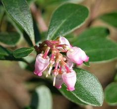 Kinnikinnick, Bearberry (Arctostaphylos uva-ursi), Pacific northwest native shrub.