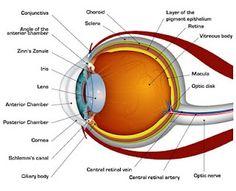 GURURAJ.N.: Human Eye Facts