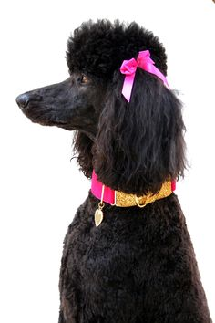 Standard poodle Darla and her new glitter gold and pink velvet martingale collar <3