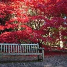 Japanese Maple and bench. Acer palmatum (Japanese Maple) trees in autumn colors , Front Flower Beds, Raised Flower Beds, Tamukeyama Japanese Maple, Acer Palmatum, Garden Yard Ideas, Maple Tree, Landscaping With Rocks, House Front, Amazing Flowers